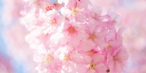桜にまつわる恋のジンクス!素敵な恋を呼び寄せてくれるかも…♡